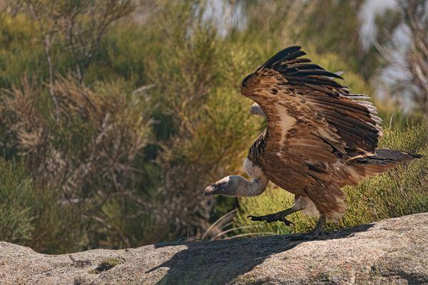vale-gier-griffon-vulture-gaensegeier-gyps-fulvusC84D8A70-161D-EC80-6447-E5219E0FD894.jpg