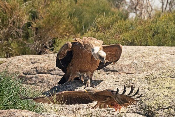 vale-gier-met-zwarte-wouw-griffon-vulture-gaensegeier-gyps-fulvus6-mdh2F08C53B-0E56-05A6-756E-8227C65FA6FF.jpg