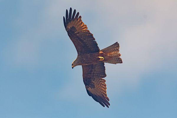 zwarte-wouw-black-kite-schwarzmilan-milvus-migrans18601342-1D57-242B-82EE-4E13804E6765.jpg