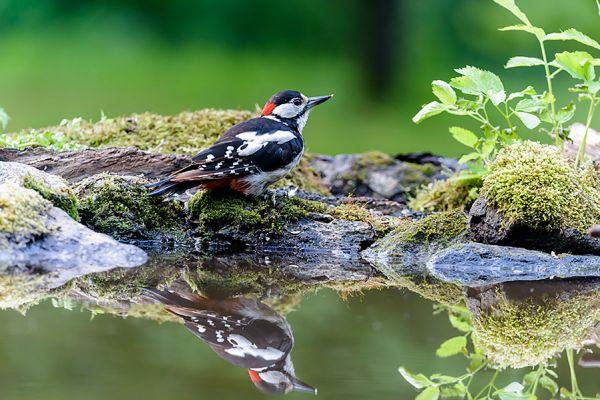 grote-bonte-specht-great-spotted-woodpecker-dendrocopos-major-20150112-130317961824990FF3-DB50-DD96-4FB5-4CA013BEF3EC.jpg