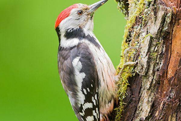 middelste-bonte-specht-middle-spotted-woodpecker-dendrocopos-medius-20150112-1128560409B7BB9229-6C2E-6B5F-493B-B688880A5ECE.jpg