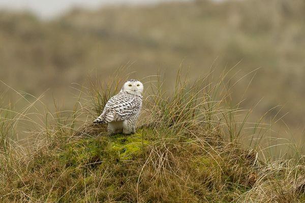 sneeuwuil-snowy-owl-nyctea-scandiaca-20150112-1716460480A1F27CB6-1343-8B82-A1DA-DB152D1105A8.jpg