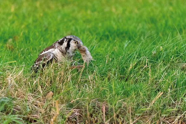 sperweruil-hawk-owl-surnia-ulula-20150112-1430797499FFA0A287-F149-C892-121B-B82FF477E5D4.jpg