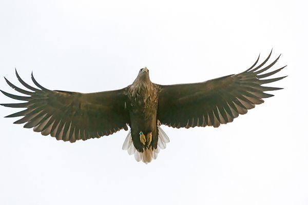 zeearend-white-tailed-eagle-haliaeetus-albicilla-20150112-1309412422C806E34E-9C0B-9933-0D18-8C97C0C0E518.jpg