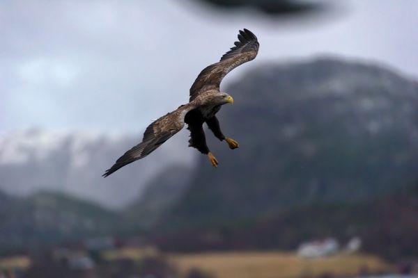 zeearend-white-tailed-eagle-haliaeetus-albicilla-20150112-1927480472845837A0-CE1C-09AB-E5DB-4E66E985A220.jpg