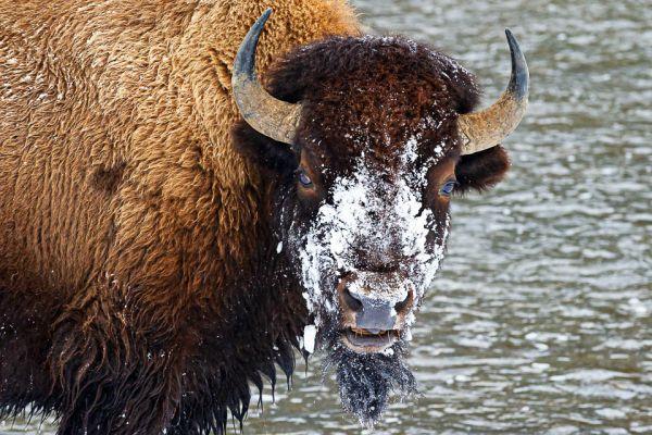 bizon-bison-bisons-bison-bison-portretB145CEB7-3369-2DFB-3BA0-38368B7D0DB3.jpg