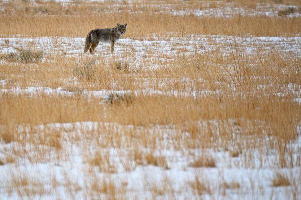 coyote-of-prairiewolf-coyote-kojote-canis-latrans-mdA5F223B1-3A07-45E5-942C-42720908E9BC.jpg
