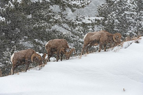 dikhoornschaap-bighorn-sheep-dickhornschaf-ovis-canadensisA9B72523-CA83-6CE0-5EA5-F0D4F2F7C17C.jpg