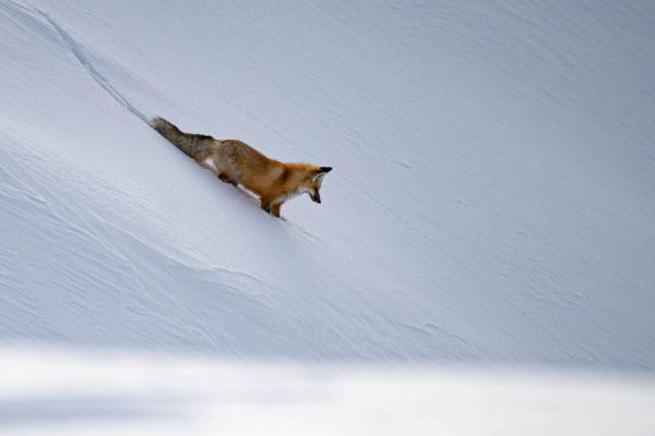 vos-red-fox-rotfuchs-vulpes-vulpes-md948EF623-AE54-4702-4721-A74124758DC3.jpg