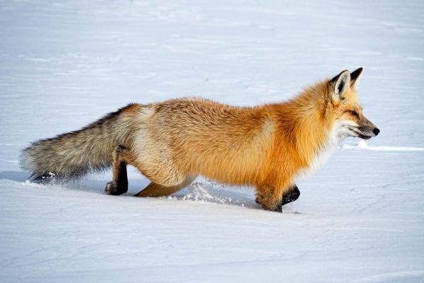 vos-red-fox-rotfuchs-vulpes-vulpes-mdB7275427-9B17-99EE-2E11-FE477224868C.jpg