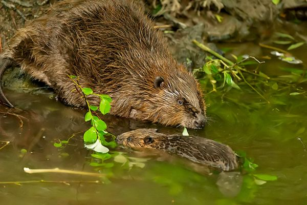 bever-beaver-castor-1-20141220-110837843151A910CC-5C84-1692-CB25-266A73BA7BE6.jpg