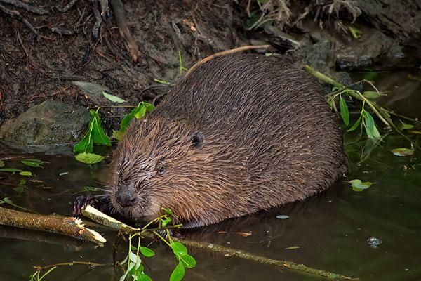 bever-beaver-castor-2-20141220-15912611013B114198-FEFB-F517-93DB-E8AFAFF549B7.jpg