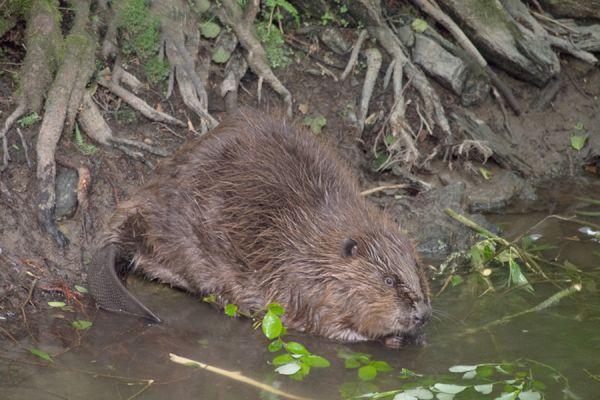 bever-beaver-castor1-20141220-1502507257D961E675-46F6-B006-7F58-6FCC4E70E02C.jpg