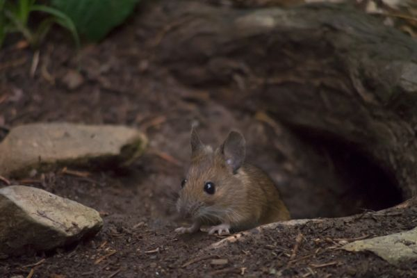 bosmuis-wood-mouse-apodemus-sylvaticus-20150625-10696219014B2DFE08-88F2-47B1-7042-665209907237.jpg