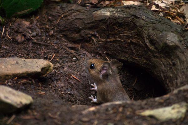 bosmuis-wood-mouse-apodemus-sylvaticus-20150625-132843371415D17D2D-88B2-E7BE-CE2F-DE83FFC98641.jpg