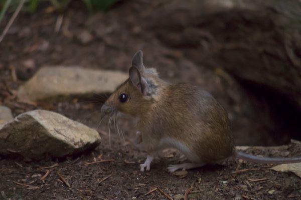 bosmuis-wood-mouse-apodemus-sylvaticus-20150625-1551534719FA35DFDA-F0BD-820A-4B42-F96D4BC39951.jpg