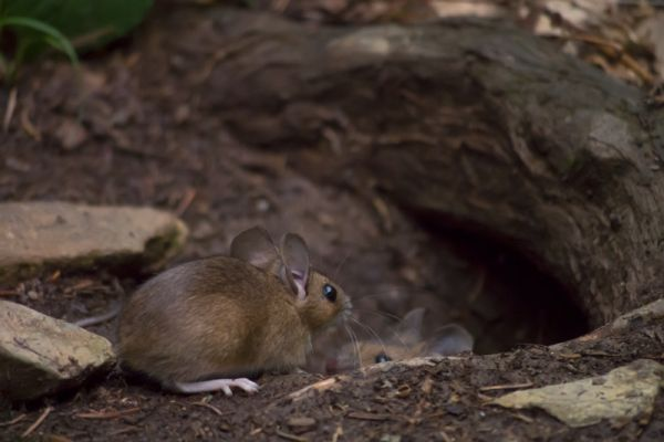 bosmuizen-wood-mice-apodemus-sylvaticus-20150625-16895655573C597B6D-E3A2-F375-0824-16AF902892D7.jpg
