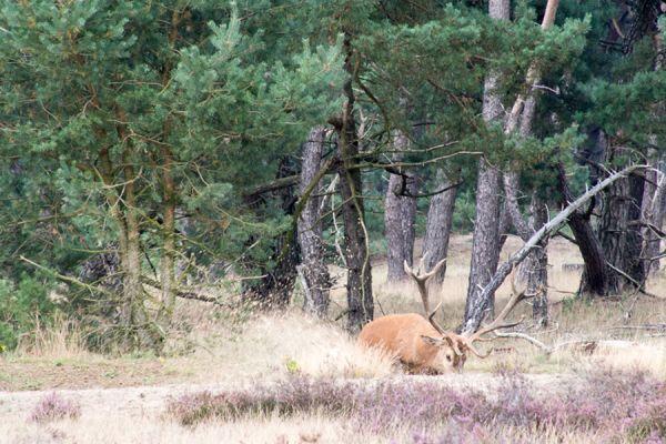 edelhert-red-deer-cervus-elaphus-20141220-1454668468D280F517-9436-2830-BF7E-36F8AA763FB9.jpg
