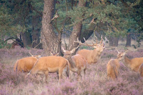 edelhert-red-deer-cervus-elaphus3-20141220-1165065396BCDD69C0-BA3C-07D7-E8CF-A1FCD1F4C4F6.jpg