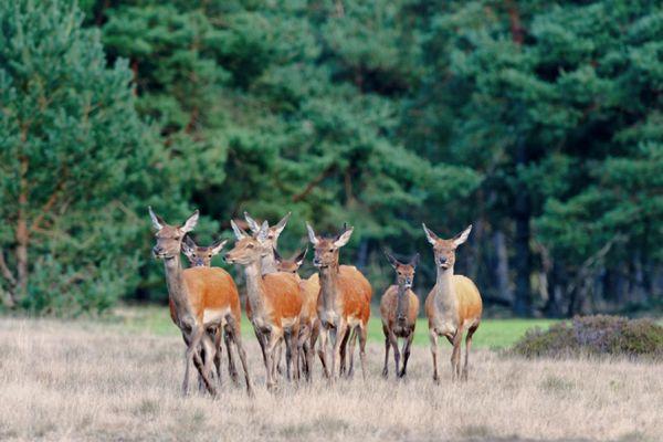 edelhert-red-deer-cervus-elaphus6-20141220-1159014350B0011A70-E76D-9247-CFE6-A20B2CA764DA.jpg