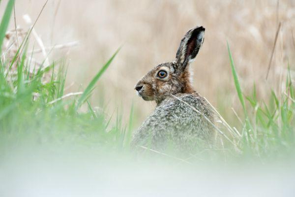 haas-hare-lepus-europaeus-20141220-1123715292F1AAB973-EF68-45EA-3694-1DF415428A39.jpg