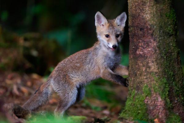 jonge-vos-young-red-fox-vulpes-vulpes-20150625-1518488554CC4A17CE-9F1E-2226-44B0-F95AA808C4A2.jpg