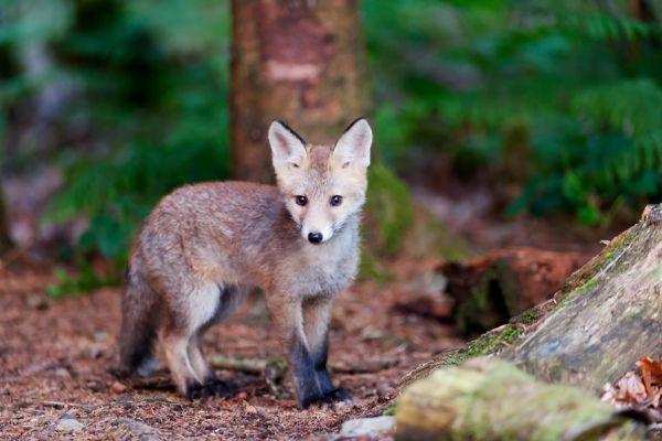 jonge-vos-young-red-fox-vulpes-vulpes-20150625-19749412015B0AE2F6-FF3E-59B7-9AE3-296265A218DF.jpg