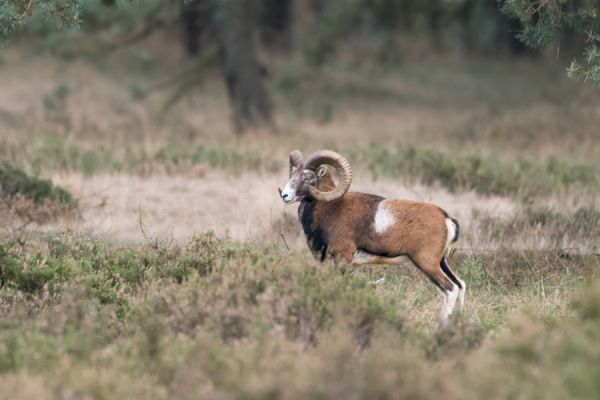 moeflon-mouflon-ovis-orientalis-orientalis-1-20141220-1101118418EEFCC90F-E9FA-3900-78F8-8087BDD84FCC.jpg