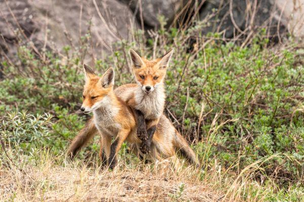 vos-red-fox-vulpes-vulpes-3-20141220-1621009474E0B2A7E0-4A1B-15B1-C100-781DFE960680.jpg