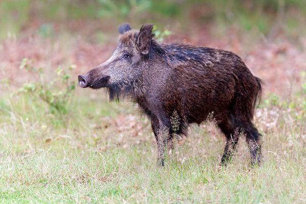 wild-zwijn-wild-boar-sus-scrofa-1-20141220-1226382516A5BE5787-B810-F55E-73AF-3A77E1075AD5.jpg