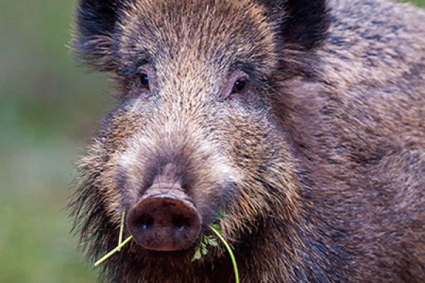 wild-zwijn-wild-boar-sus-scrofa-2-20141220-10828415841C260E73-8902-D118-4CB0-E63ABA253172.jpg