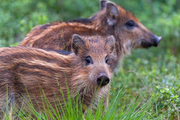 wild-zwijn-wild-boar-sus-scrofa-20141220-1326729652120857FC-F29A-B454-915A-ADBF9A97F448.jpg