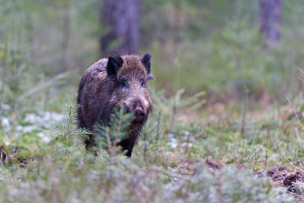 wild-zwijn-wild-boar-sus-scrofa-3-20141220-1262239016E7A4BA4C-F455-EFC4-3113-20C6ABEE0C79.jpg