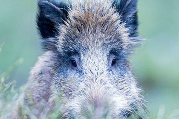 wild-zwijn-wild-boar-sus-scrofa-5-20141220-1851967052561F80B9-4D8E-3F43-C5D0-C2B71C50E1BE.jpg