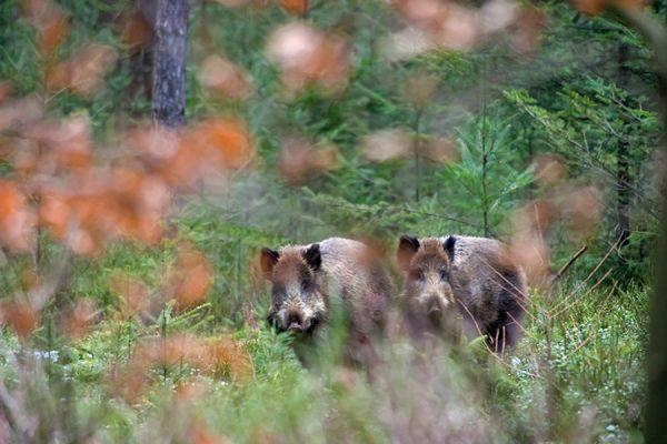 wild-zwijn-wild-boar-sus-scrofa-6-20141220-1397725296DC9E9371-CA57-06FD-9E57-1BB33B6C8BAC.jpg