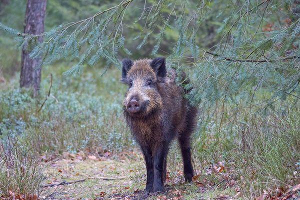 wild-zwijn-wild-boar-sus-scrofa-7-20141220-1488967018782F96FF-F63F-C9F8-05DE-2720D03B456F.jpg