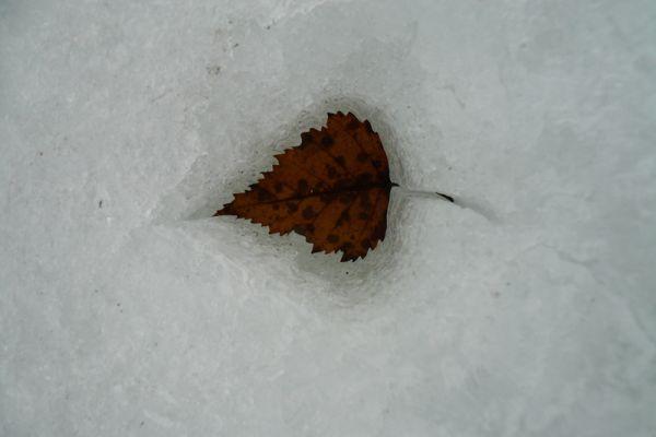 berkenblad-in-sneeuw-birch-leaf-in-snow-birkeblat-im-schnee-20160501-1817746121F44B124C-F634-413C-38A6-7D713B2F0259.jpg