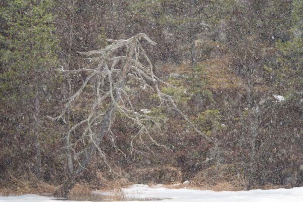 dode-boom-in-sneeuwstorm-dead-tree-in-blizzard-tote-baum-im-schnee-sturm-20160501-18902584003F3B53AF-7B6A-8EE6-BF95-194F7F4C0DC7.jpg