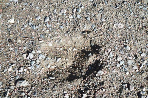 eland-moose-elch-alces-alces-20160501-1602252465FA2D7AB5-1CE1-BD6A-DA4C-0939A3CBC1CC.jpg