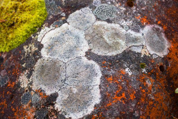 korstmos-lichen-flechte-lichenen-20160501-17814050185305E625-0DD8-40B5-3D14-A0CE11A68CF5.jpg