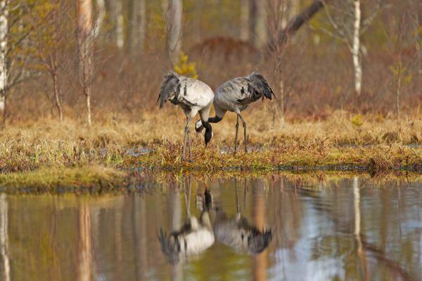 kraanvogel-common-crane-kranich-grus-grus-20160501-1253485713D9D50C3C-B24F-D9CD-FFB6-1C44808EFA08.jpg