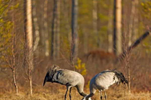 kraanvogel-staand-common-crane-kranich-grus-grus-20160501-2092263660D7529803-CE3B-CBBD-D263-1A954FDD478C.jpg