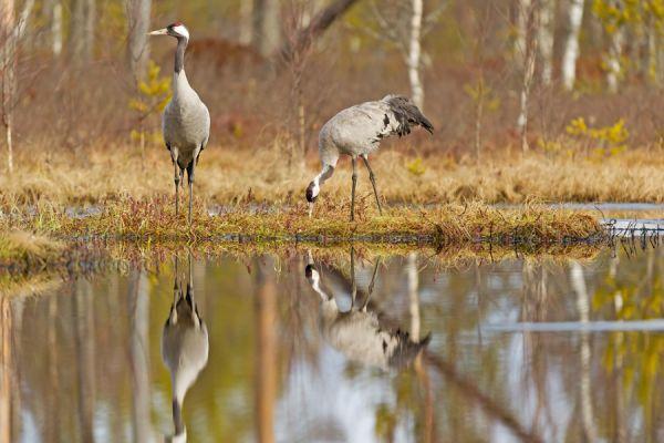 kraanvogel-stel-common-crane-kranich-grus-grus-20160501-20292798818CCB0ECC-49F4-C8B8-D117-1EBD6C393C17.jpg
