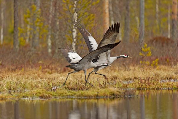 kraanvogel-vliegt-common-crane-kranich-grus-grus-20160501-149857731463D74FCC-FF37-4FFF-EA2C-D4C89F035557.jpg