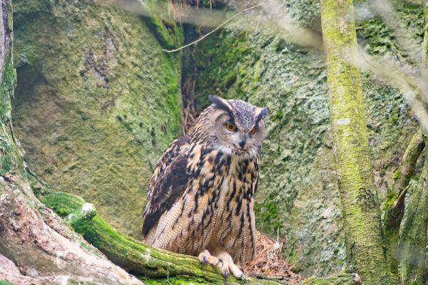 oehoe-eagle-owl-uhu-bubo-bubo-captive-20160501-1268021223F0062994-D153-6677-9F22-067C8B1DB549.jpg