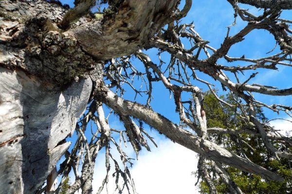 oude-boom-in-fulufjaellet-old-tree-at-fulufjaellet-alte-baum-in-fulufjaellet-20160501-1981476342EFAE9C97-94F8-D2AD-37F3-BCC57D44914B.jpg