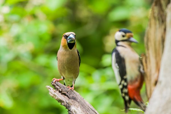 appelvink-hawfinch-coccothraustes-coccothraustes-and-great-spotted-woodpecker-20141218-1755486530E7819956-86CC-5A47-F65D-D5EC8335BE16.jpg