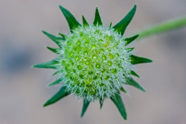 beemdkroon-commonly-field-scabious-knautia-arvensis-20141218-1683682835BA67D50D-64BE-C8CC-09BB-60BED6C8A971.jpg