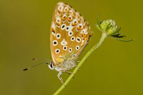 bleek-blauwtje-chalkhill-blue-polyommatus-coridon-20141218-1247758431C31A9892-3297-0384-C510-2C436EC885A3.jpg