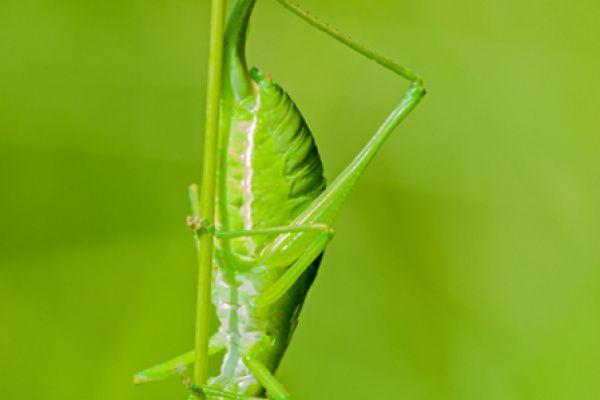 boomsprinkhaan-oak-bush-cricket-meconema-thalassinum-20141218-18049899029902205A-1A30-5D8D-690A-043A8EBF4AA3.jpg